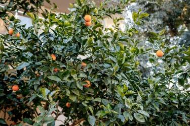 Zrajú pomaranče